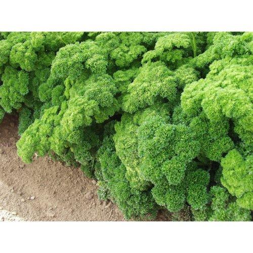 Organic Herb - Parsley - Grune Perle - 20g