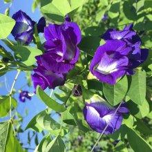 Egrow 50Pcs Purple Clitoria Ternatea Seeds Home Garden Bonsai Outdoor Climbing Seeds