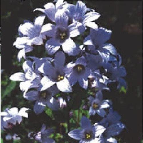 Flower - Campanula - Cottage Garden Mixed - 150 Seeds
