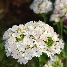 Flower - Lychnis Chalcedonica Alba - 50 Seeds