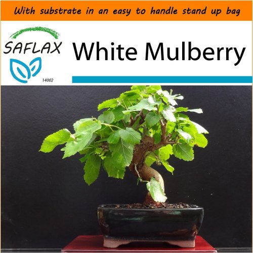 SAFLAX Garden in the Bag - Bonsai - White Mulberry - Morus - 200 seeds
