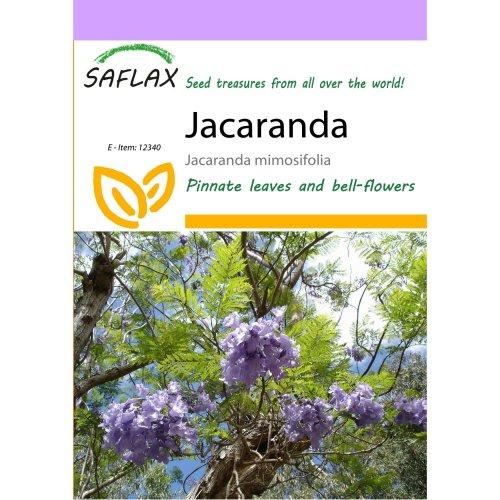 Saflax  - Jacaranda - Jacaranda Mimosifolia - 50 Seeds