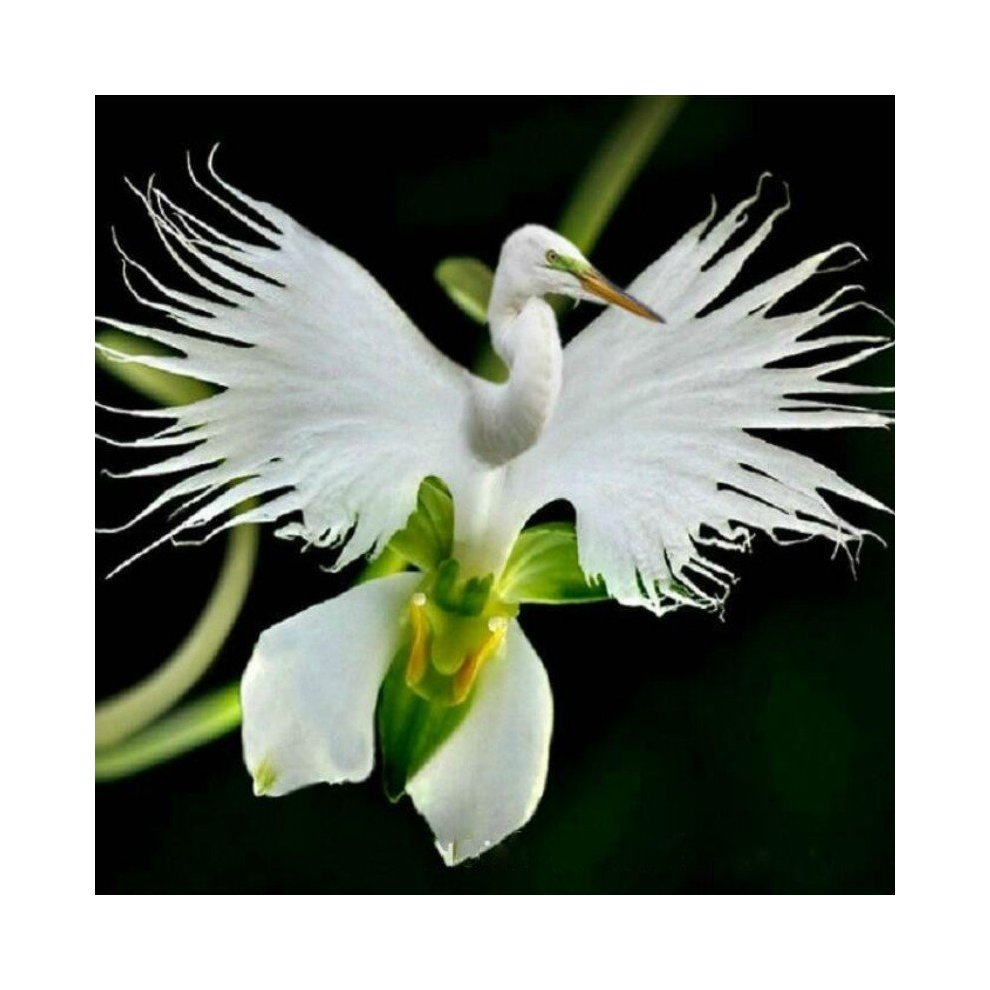200pcs japanese egret flowers seeds white egret orchid seeds radiata 200pcs japanese egret flowers seeds white egret orchid seeds radiata rare white orchid home garden mightylinksfo