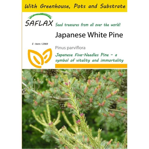 Saflax Potting Set - Japanese White Pine - Pinus Parviflora - 10 Seeds - with Mini Greenhouse, Potting Substrate and 2 Pots