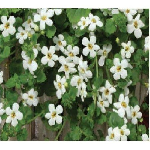 Flower - Bacopa Snowtopia - 20 Seeds