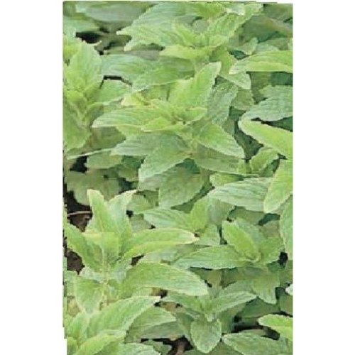 Herb - Spearmint - Mentha Spicata - 2500 Seeds