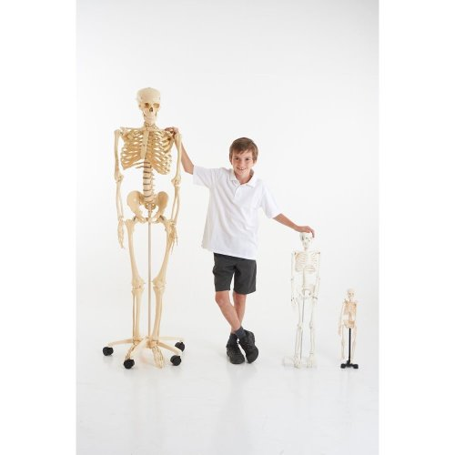 Full Sized Educational Skeleton with Stand (03067)